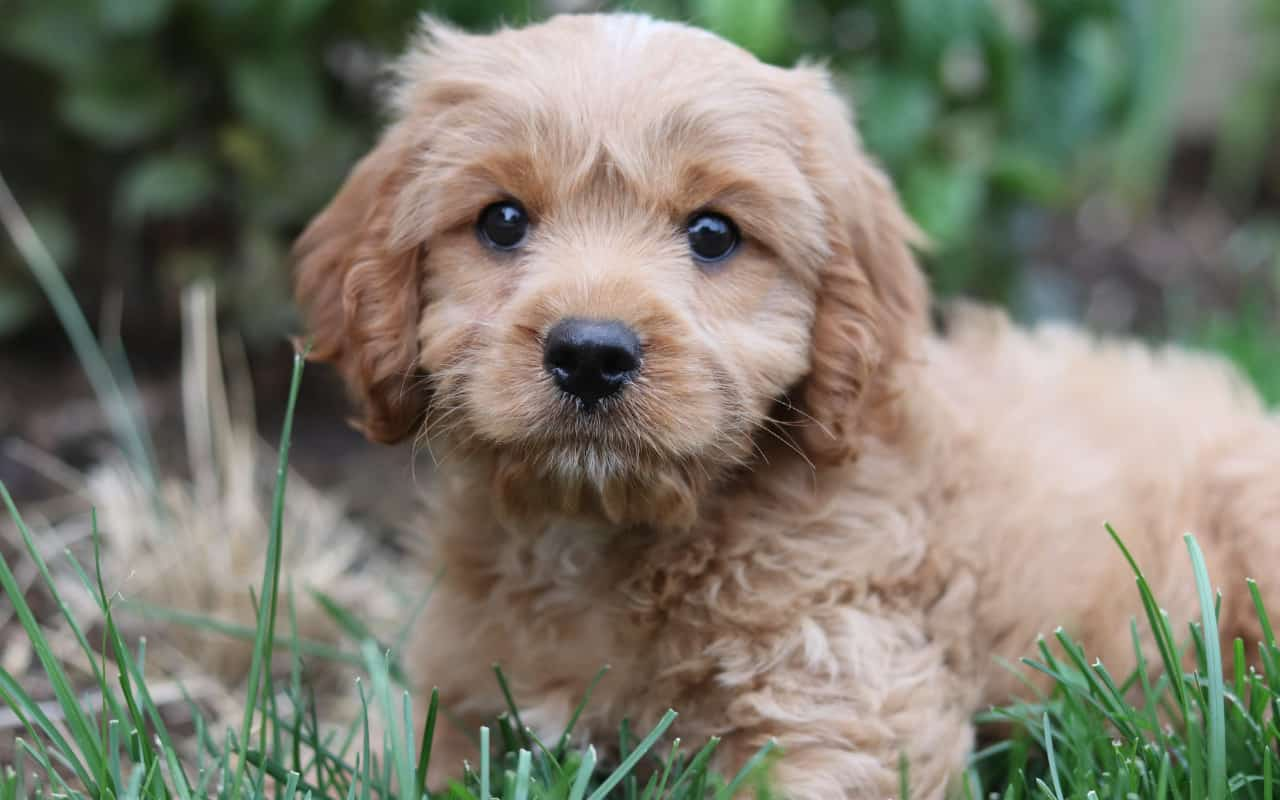a cavoodle puppy laying in tall grass