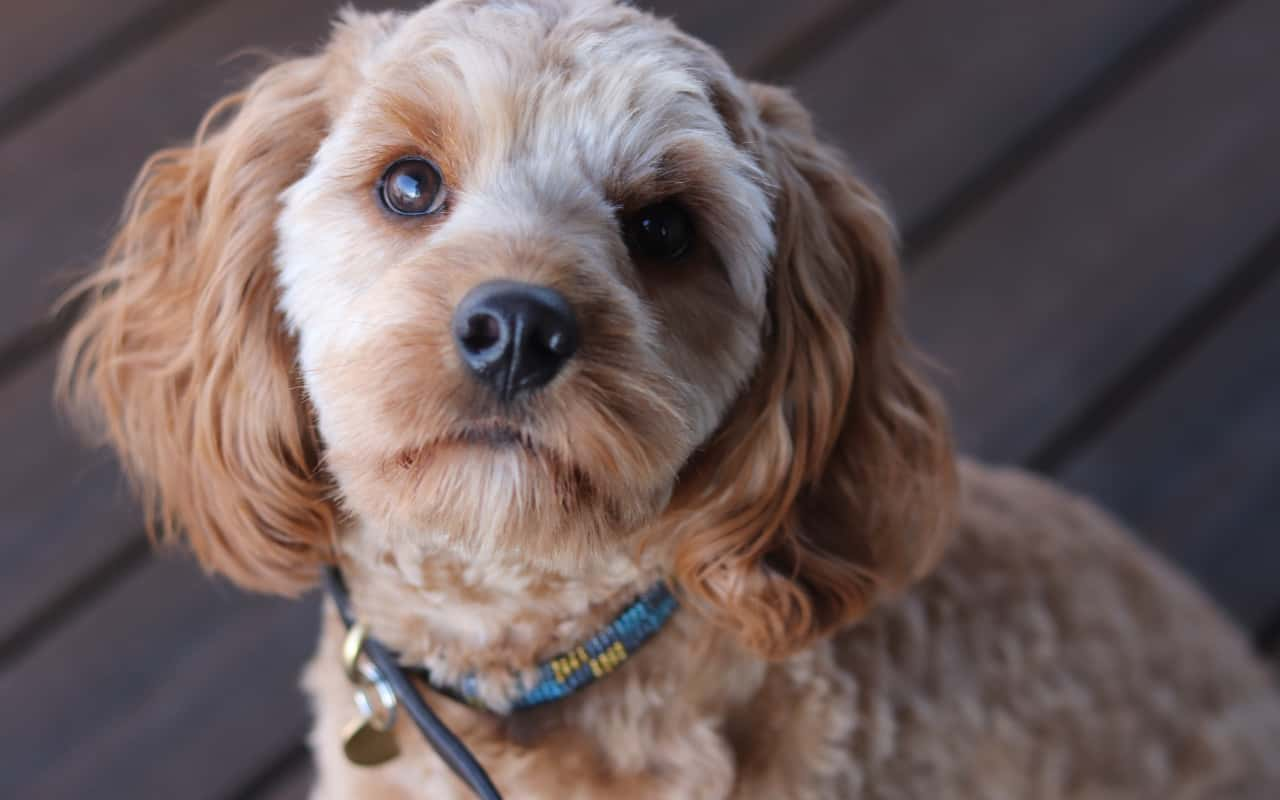 a closeup of a cavapoo with a wood floor in the background