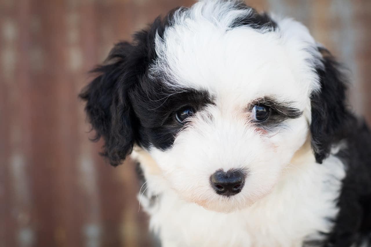 a sheepadoodle puppy closeup pictture