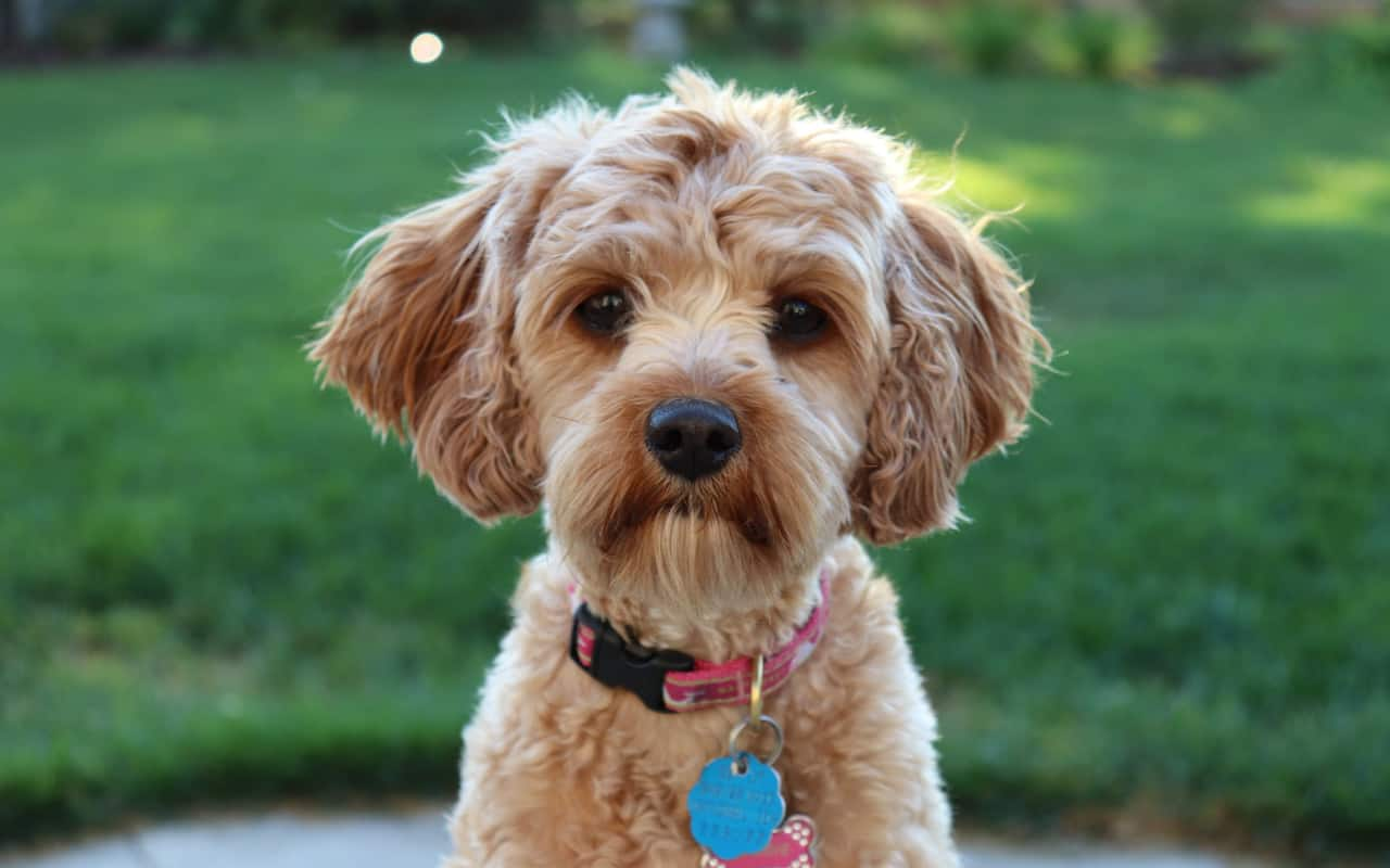 Cavapoos Breed Information: 20+ Fun Facts You Didn't Know
