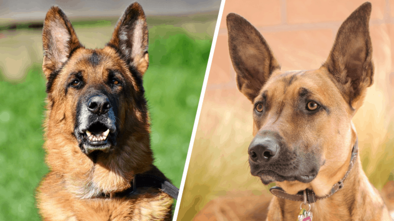 Belgian Malinois Vs German Shepherds – What's The Difference?