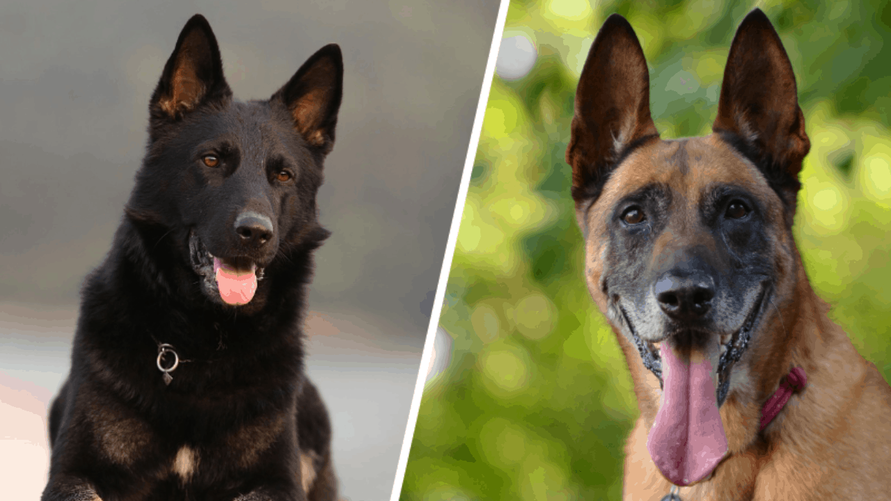 belgian malinois vs german shepherds image 4