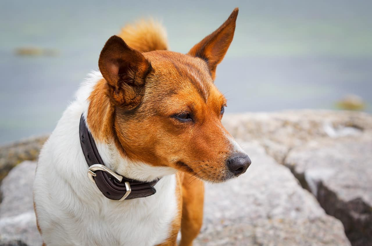 6 Best Rolled Leather Dog Collars In 2020