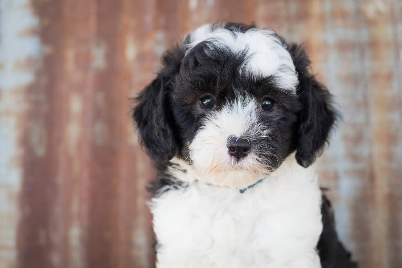 Sheepadoodle Breed Information: 5+ Important Things To Know