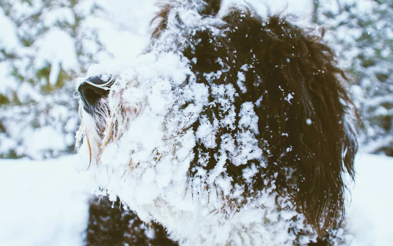 snow covered sheepadoodle