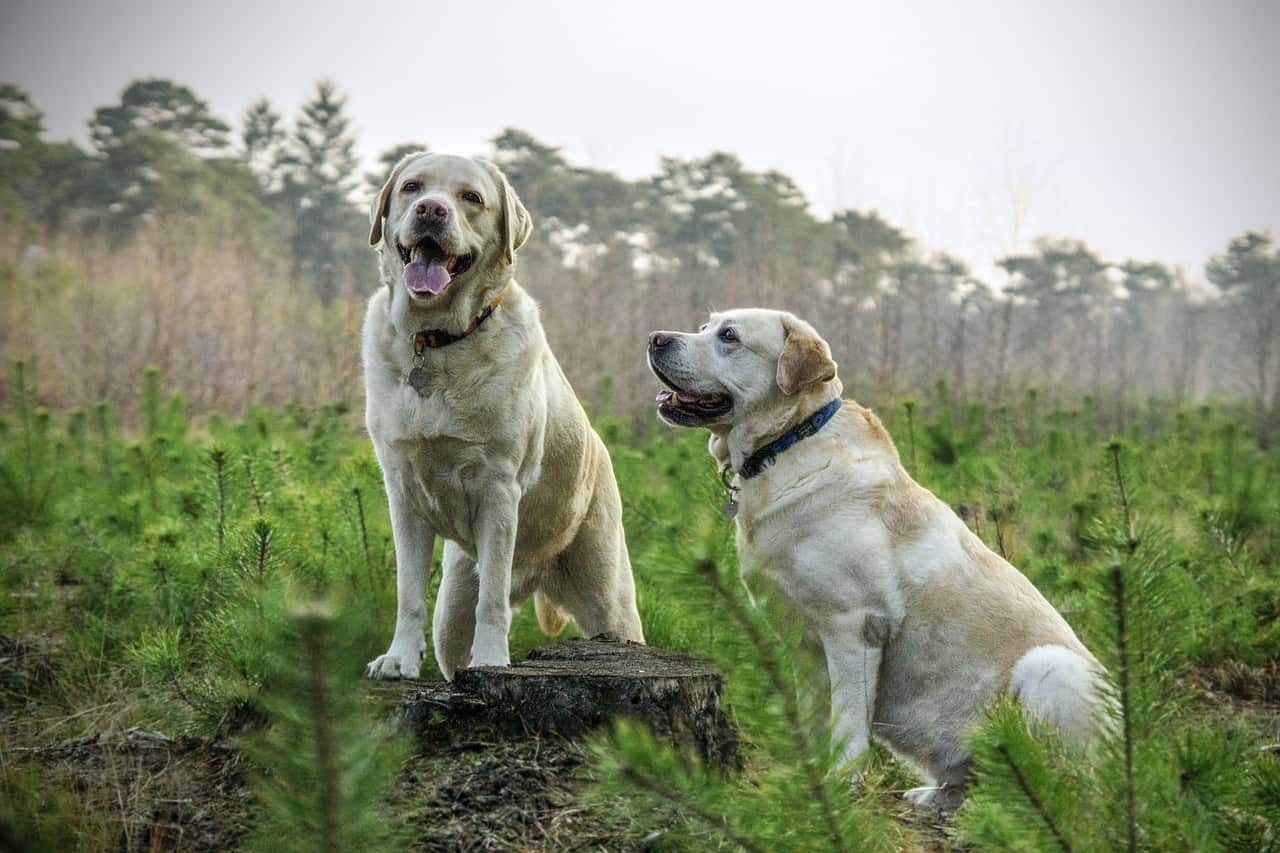 two English Labradors sitting outside in a field