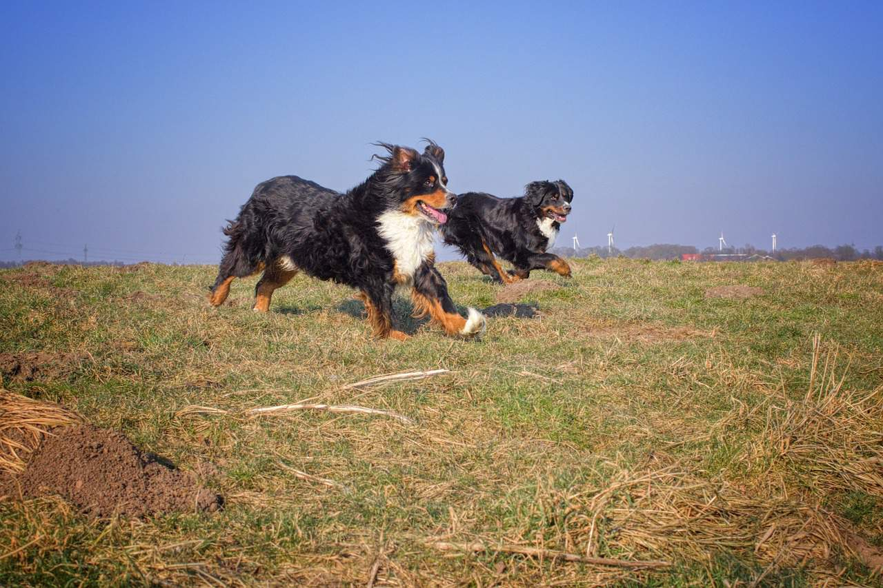 two bernese mountain dogs running in a field side by side