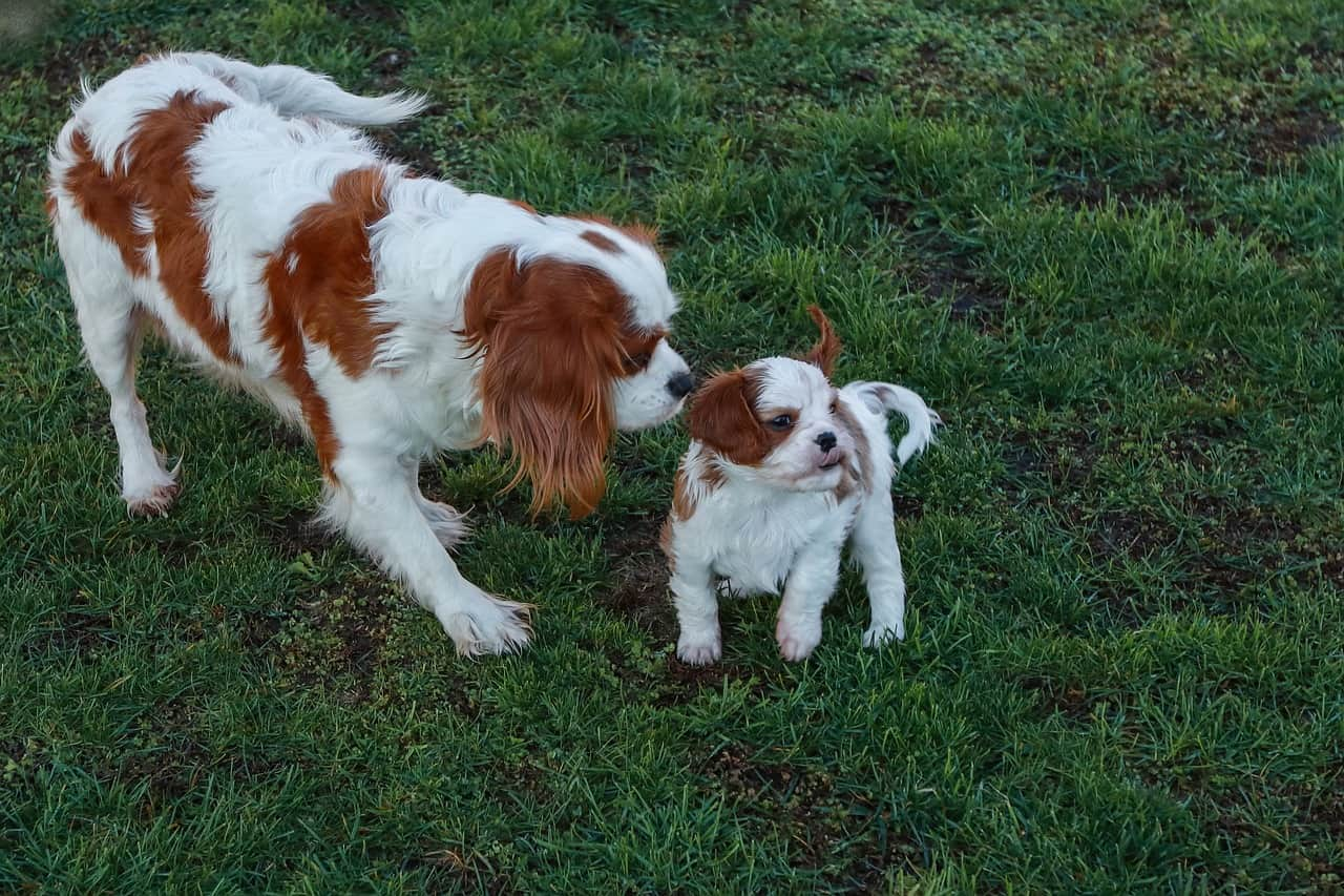 a cavalier king charles spaniel mother and her puppy