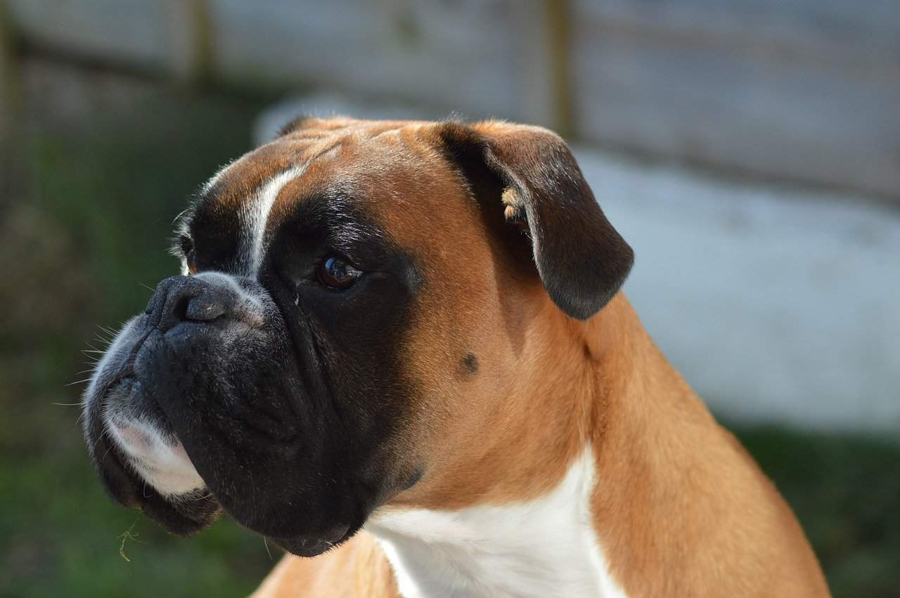 147+ Boxer Dog Names That Are Absolutely Perfect