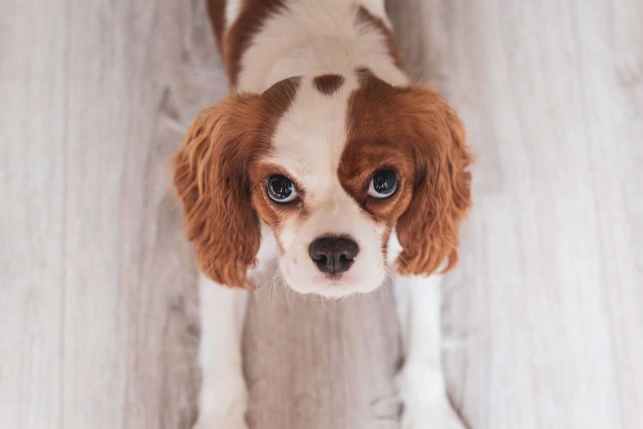The Cavalier King Charles Spaniel Breed and What You Need to Know