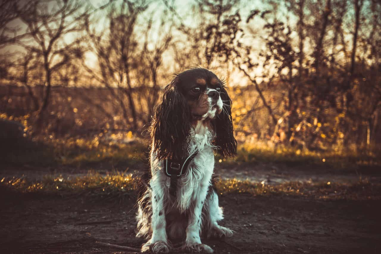 cavalier king charles spaniel sitting on a dirt road