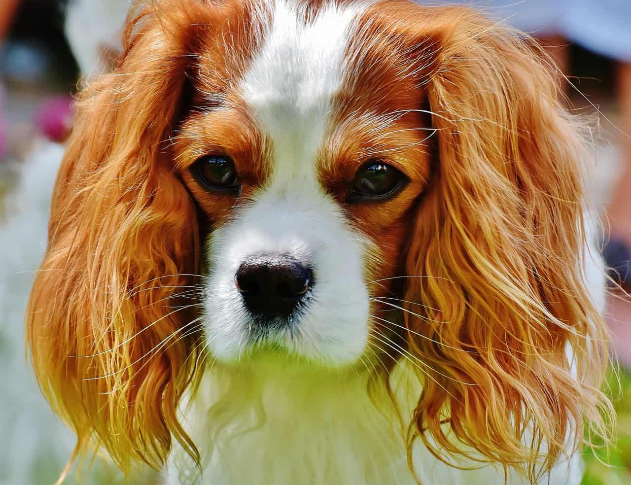 closeup picture of a cavalier king charles spaniel