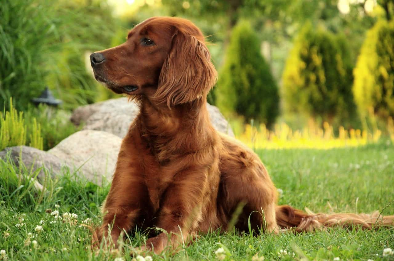 100+ AWESOME Irish Names for Dogs