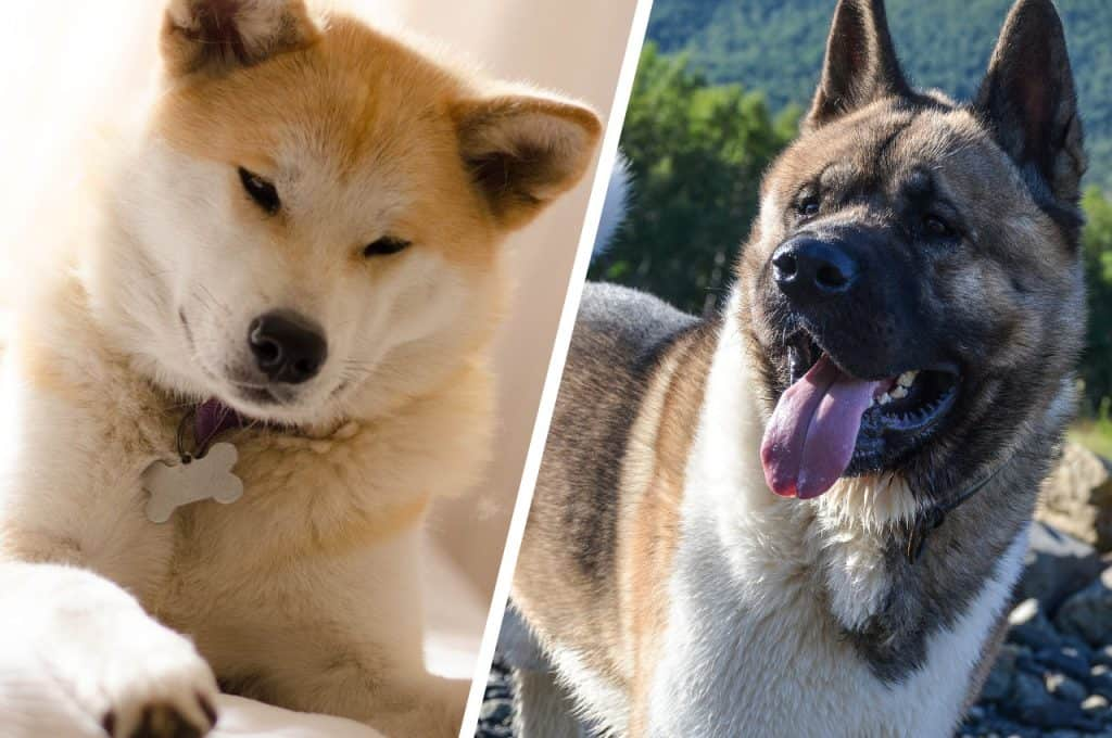 Japanese Akita And American Akita side by side comparison