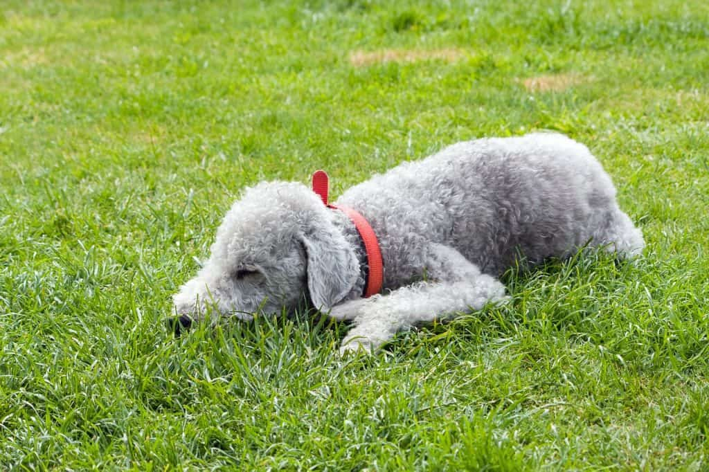 a Bedlington Terrier laying in grass