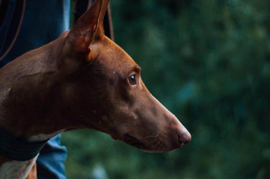 a Pharaoh Hound on a walk standing by a person