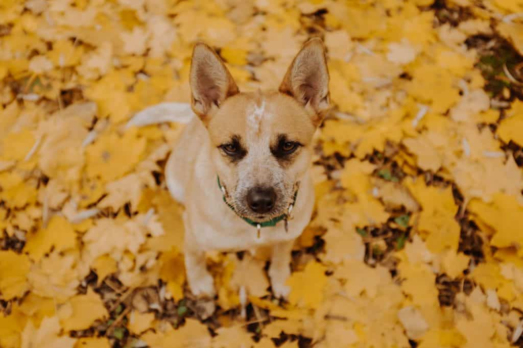 a Red Heeler sitting in scattered leaves