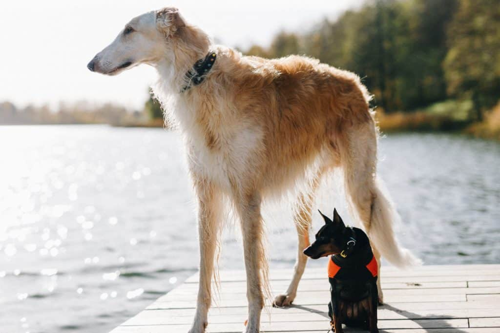 a borzoi standing on a dock next to a smaller dog
