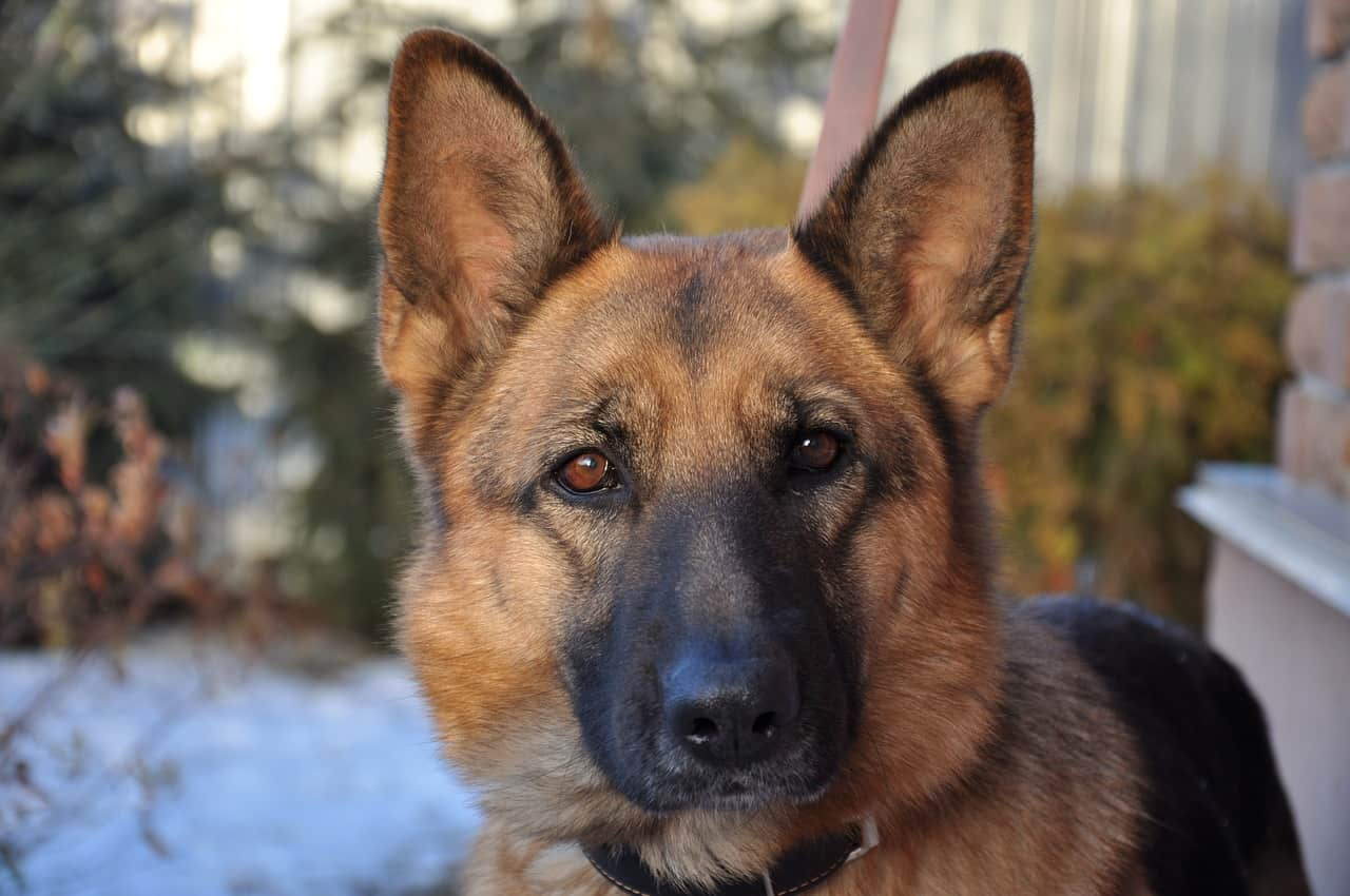 a closeup picture of a German Shepherds face in the front yard of a house