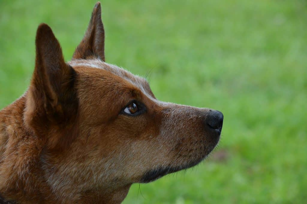 a closeup picture of a Red Heeler from the side