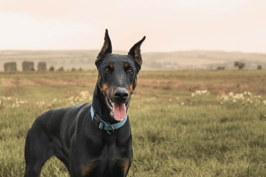 a doberman standing in a field with rolling hills in the background