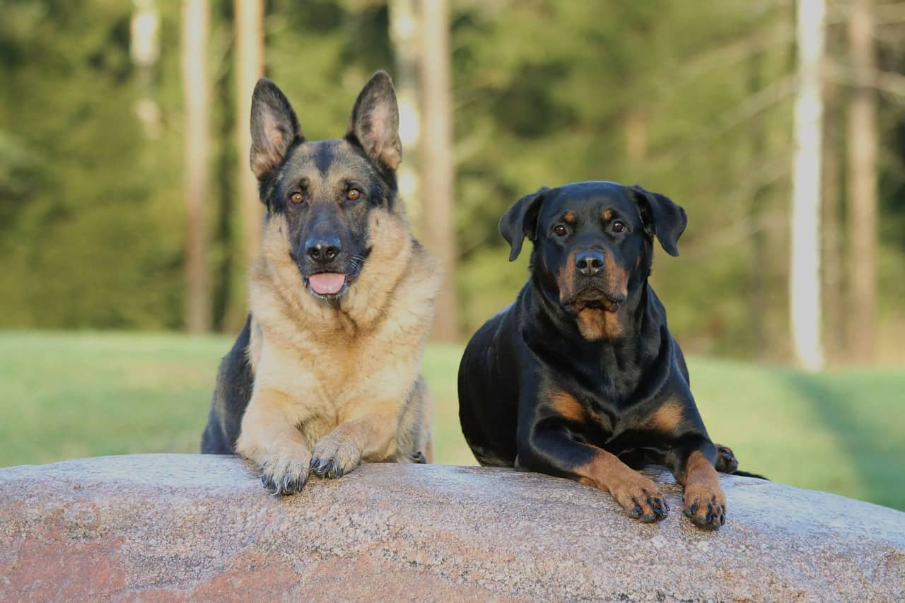 a german shepherd laying down next to a rottweiler