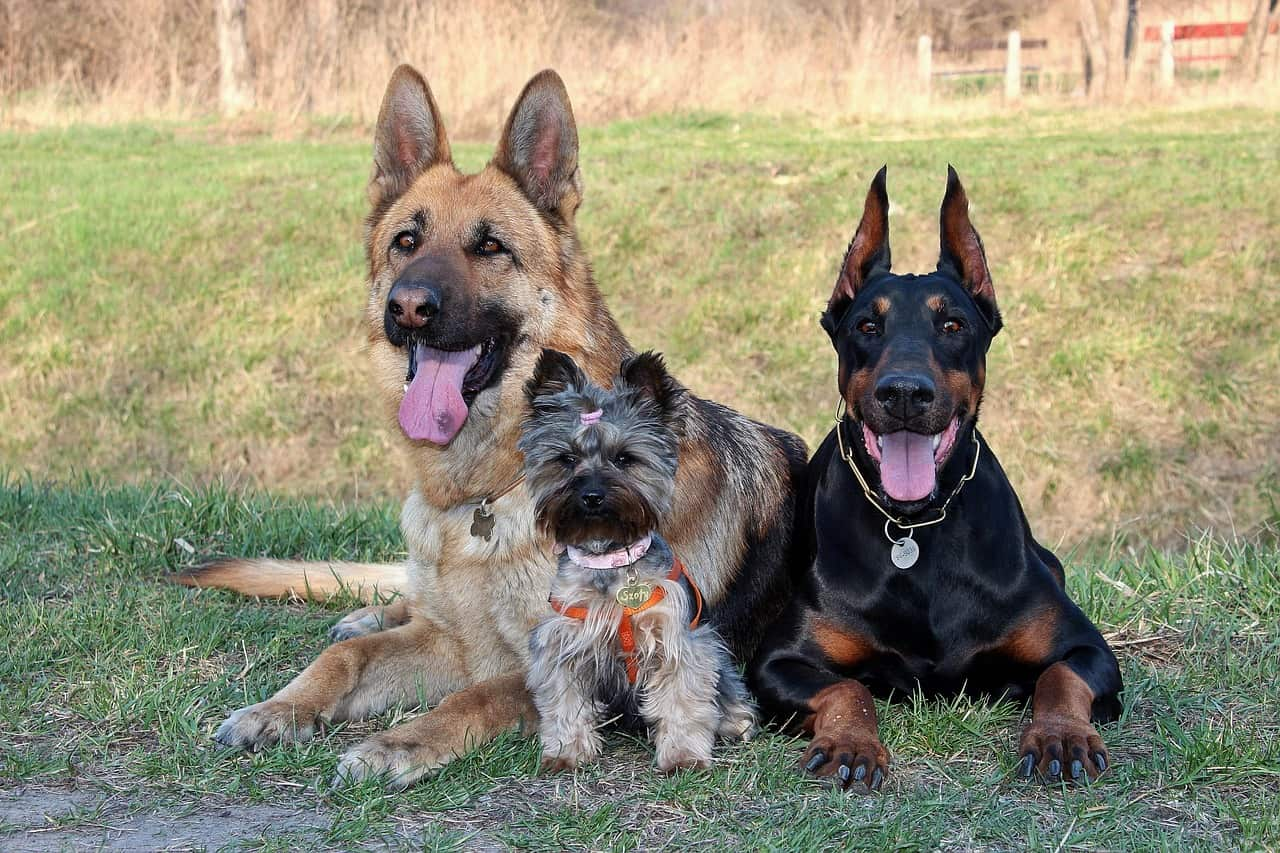 a german shepherd sitting with a doberman and a yorkshire terrier in a grass field