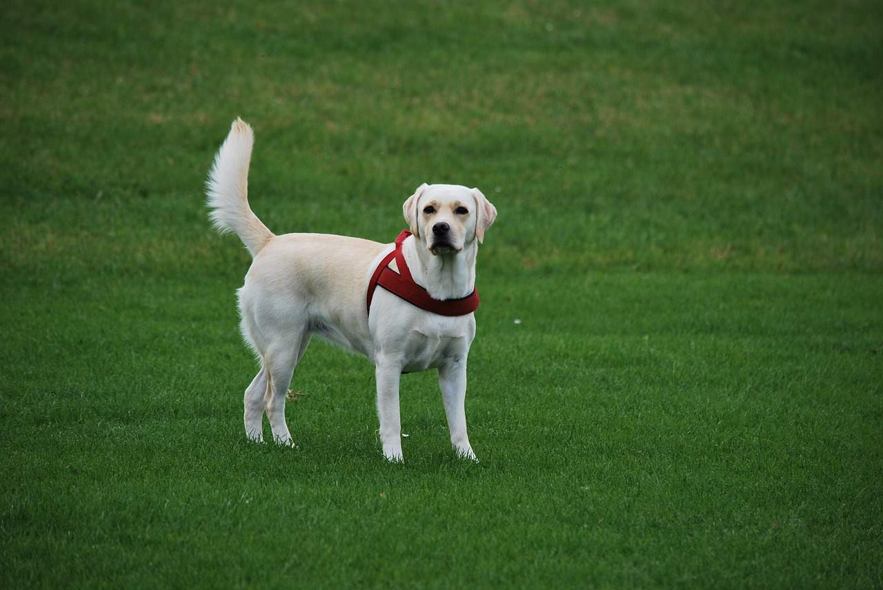 a labrador retriever standing in a grass field