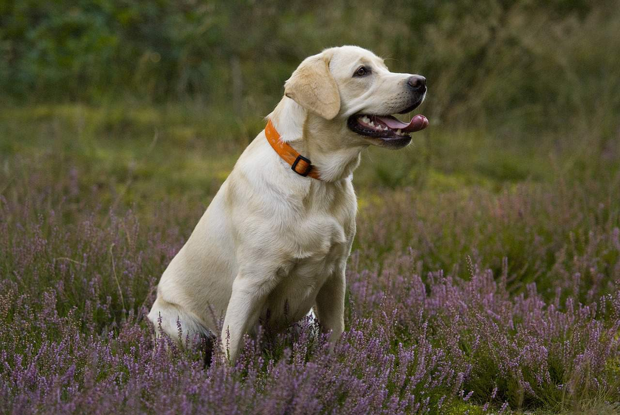 a labrador sitting in grass and flowers