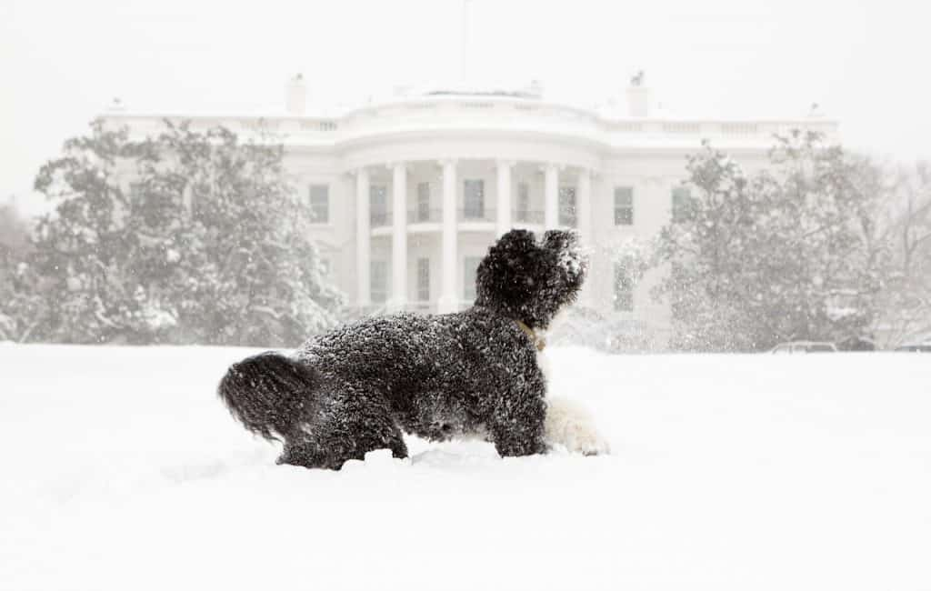 a portugese water dog standing in snow in front of the white house