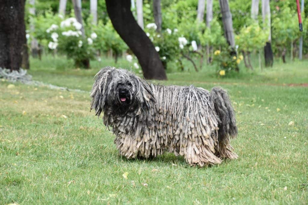 a puli dog walking around outside in grass