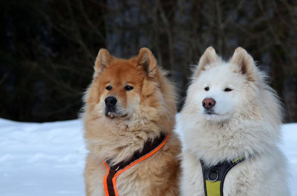 a samoyed standing next to another dog in the snow