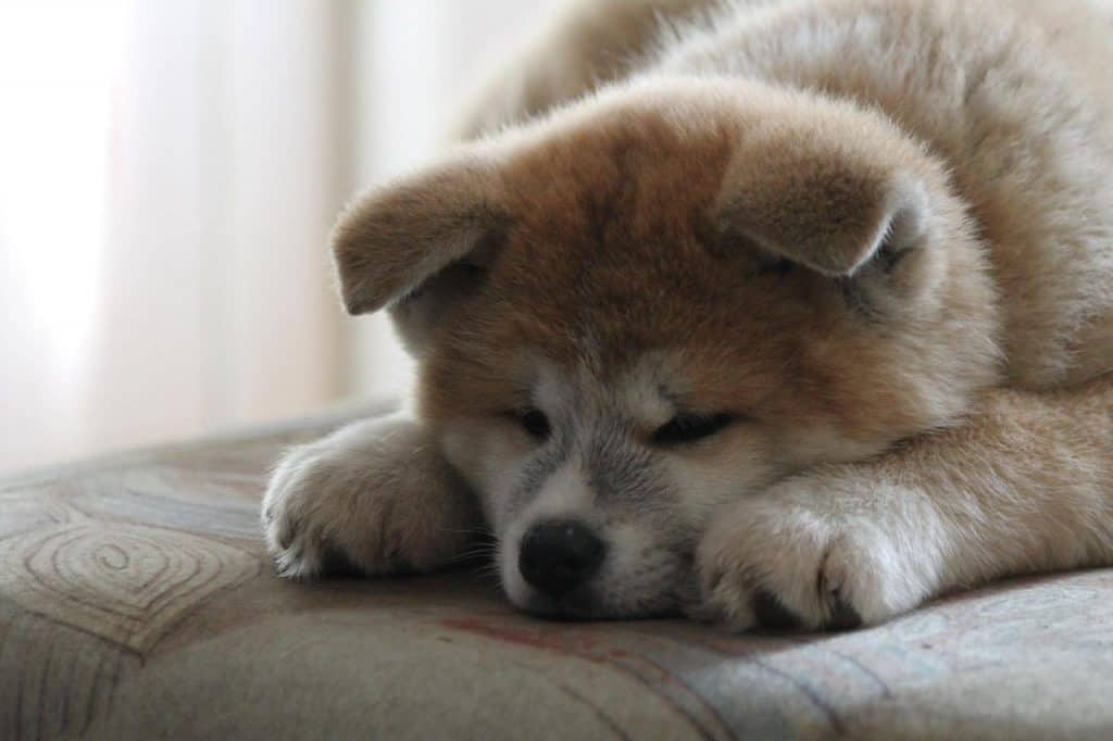 a young Akita Inu puppy laying on a couch