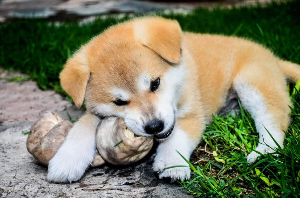an Akita Inu puppy chewing on a bone while laying on grass