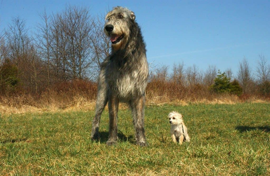 an Irish Wolfhound standing next to a very small puppy