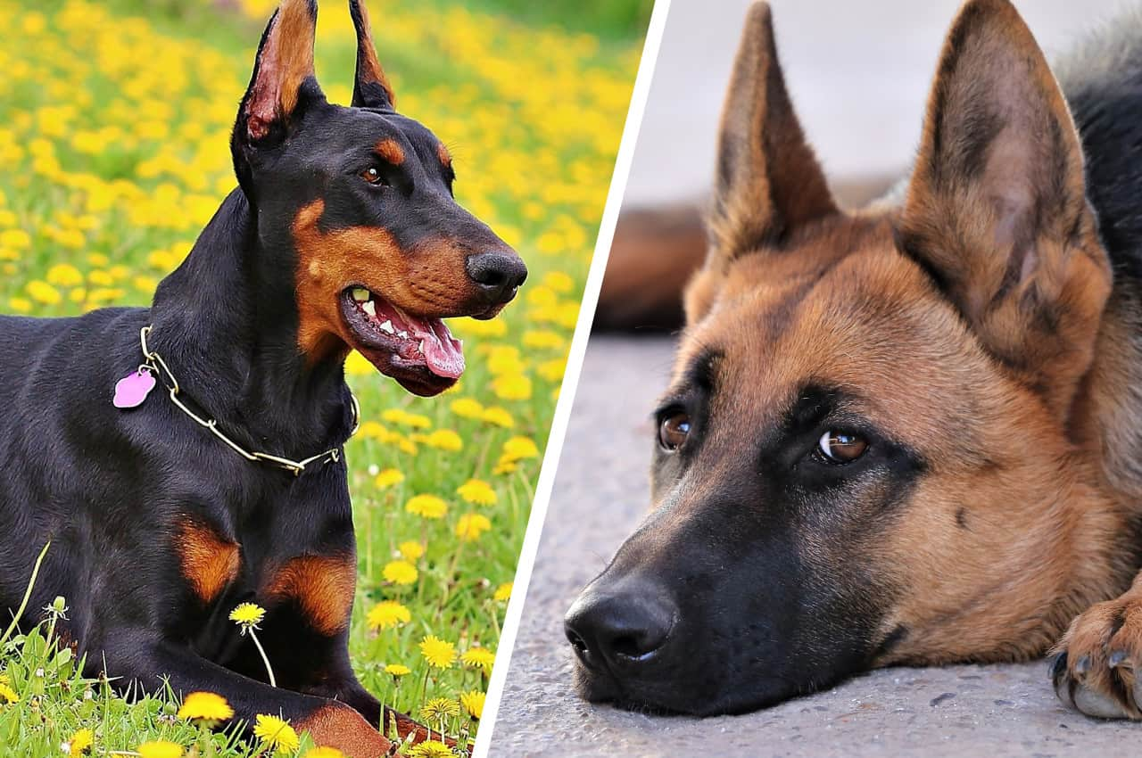 Doberman Vs German Shepherds: What's The Difference?