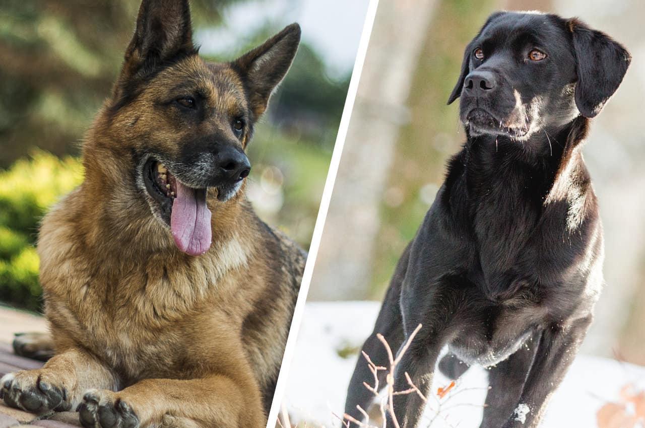 Labrador vs German Shepherd Breed Comparison