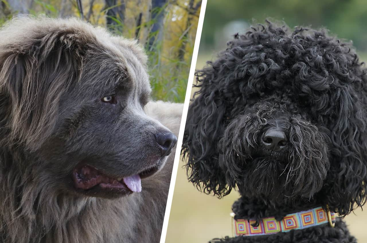 Newfypoo (Newfoundland Poodle Mix) Breed Information