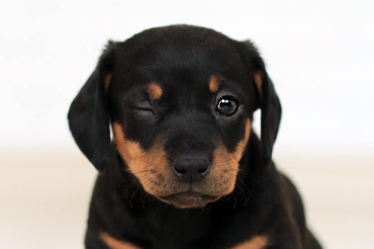 Roman Rottweiler: What Is This Breed All About?