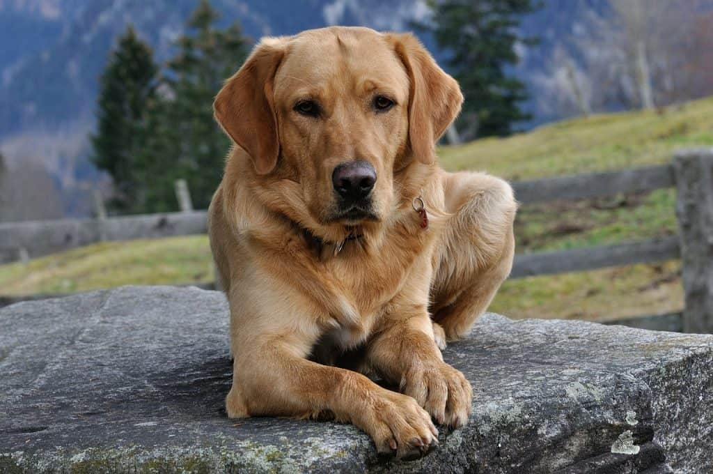 A Labrador Retriever laying on an elevated surface outdoors