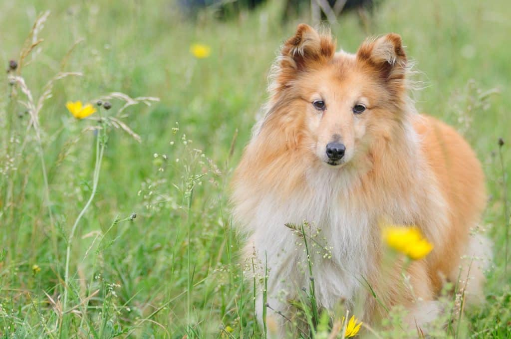 A Shetland Sheepdog walking through tall grass