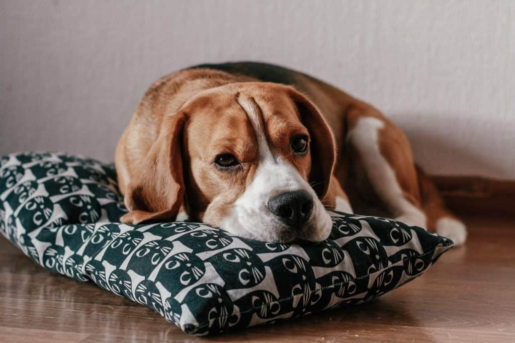a Beagle laying on a pillow