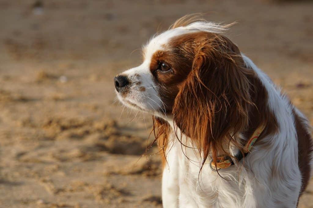 a Cavalier King Charles Spaniel standing on a beach