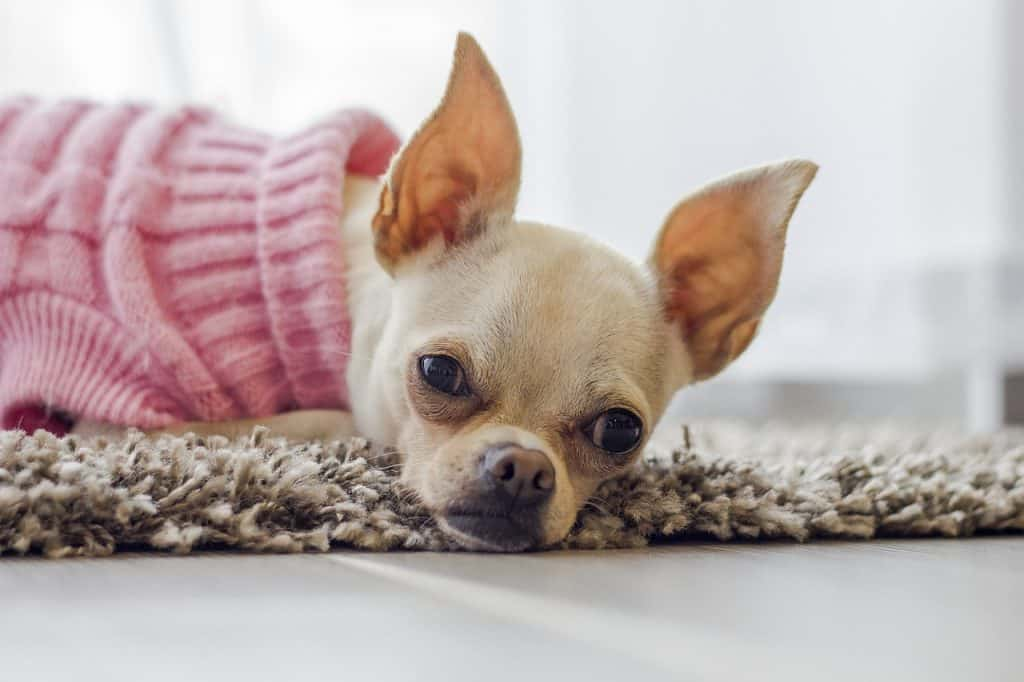 a Chihuahua laying down in a pink sweater