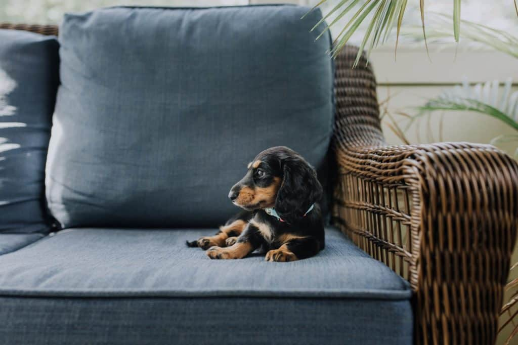 a Dachshund laying on a blue couch