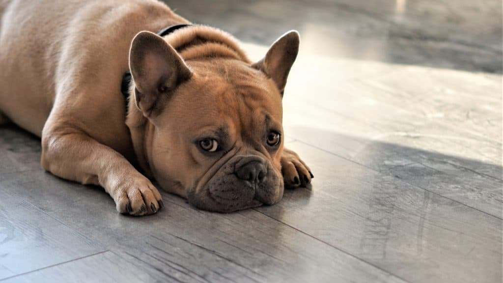 a French Bulldog laying on a grey hardwood floor
