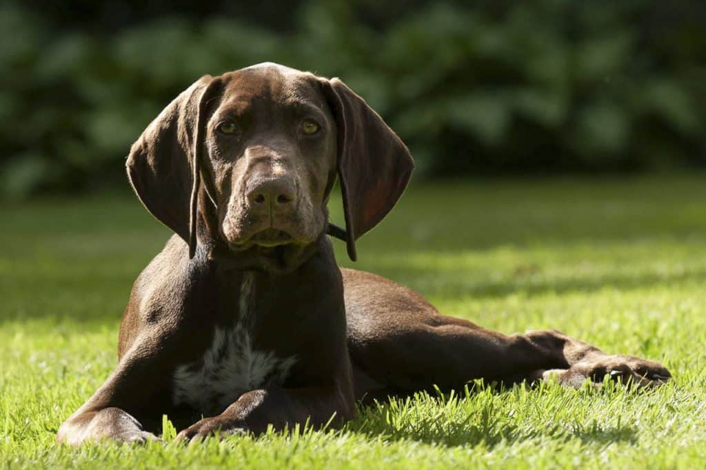 a German Shorthaired Pointer puppy laying in green grass