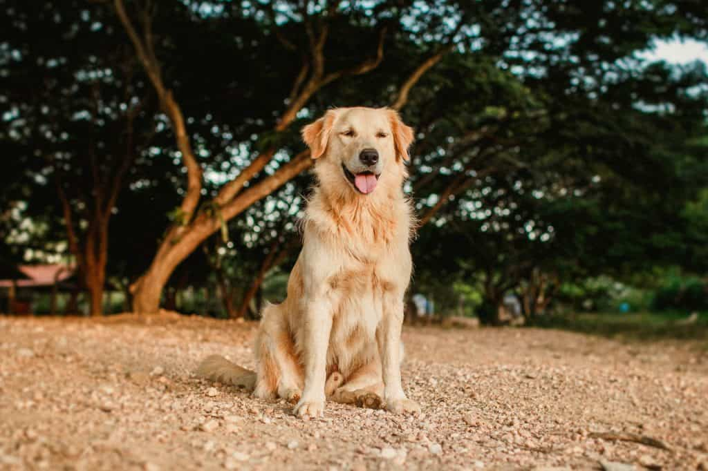a Golden Retriever resting under trees on a rocky surface