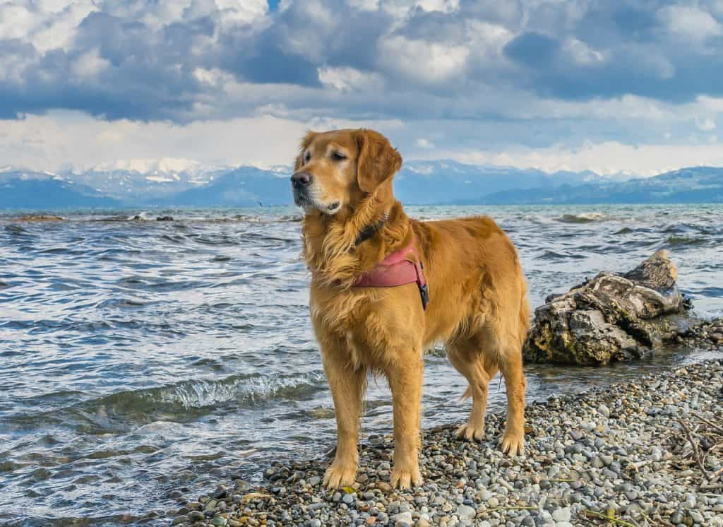 a Golden Retriever standing on a rocky beach next to water