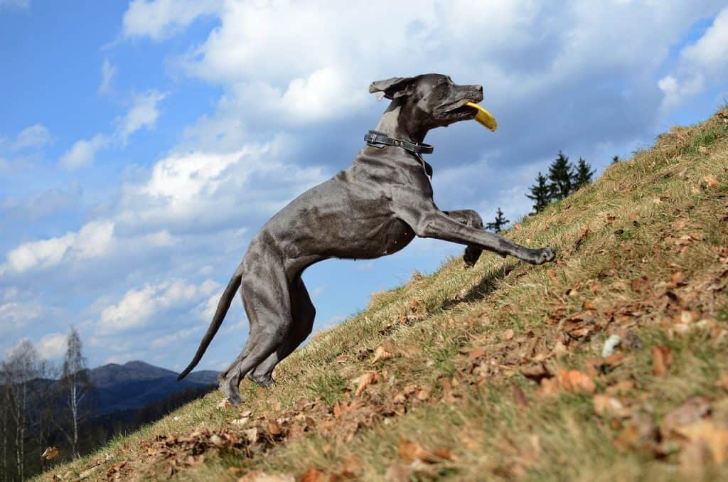 a Great Dane running up the side of a hill
